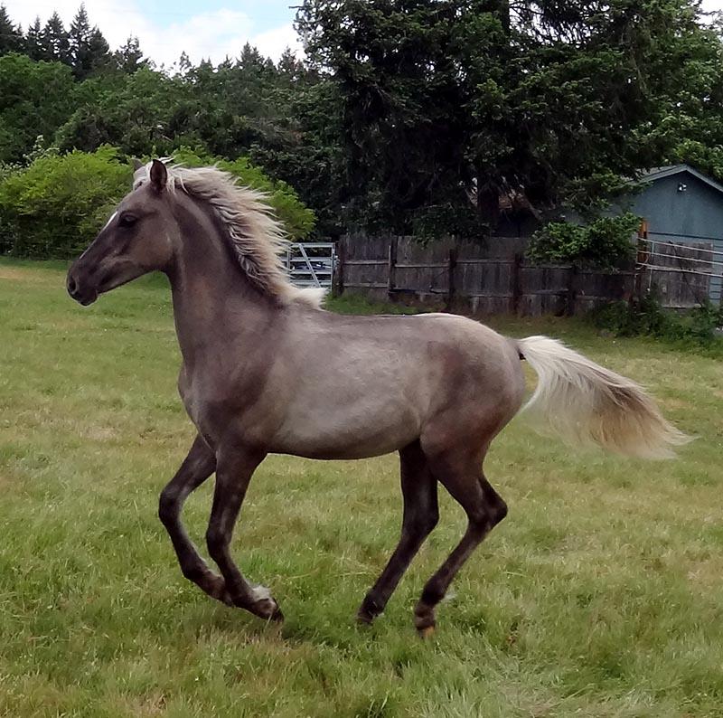 silver dun horse
