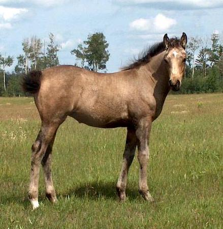 quarter horse deckhengste homozygot black